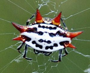 crabspidersmall